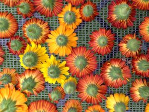CalendulaDrying2