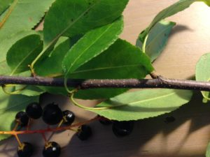 Wild Black Cherry Fall Branch with Berries