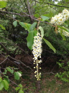 Wild Black Cherry Flower