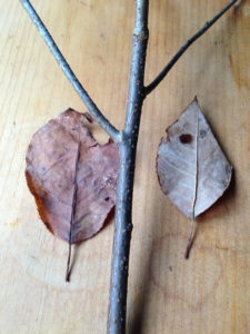 ChokeCherryTwig&Leaves