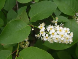 Choke Cherry Flower