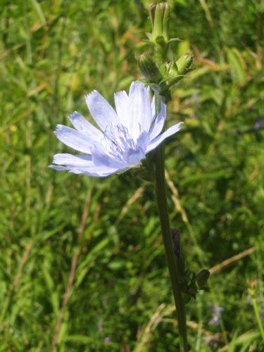 ChicoryFlowering