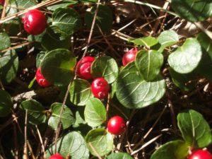 PartridgeberryBerries