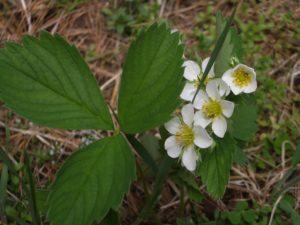StrawberryWildFlower
