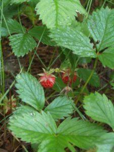 WildStrawberries